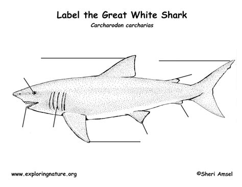 Great White Shark Diagram by Shark Great White Labeling Page