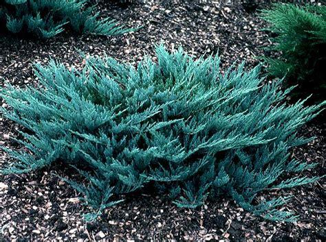 blue juniper juniper morden nurseries and garden center