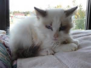 Baby Siamese Cats Kittens