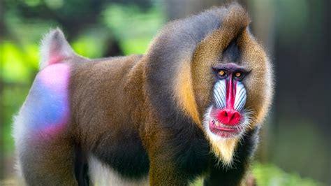 biggest monkey   world