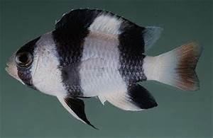 Fish Index: Tuxedo Damselfish (Chrysiptera tricincta)