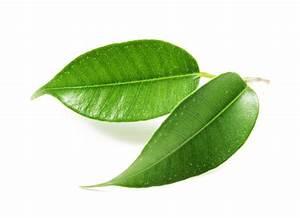 Ficus Benjamini Verliert Alle Blätter : ficus benjamini verliert gr ne bl tter woran liegt 39 s ~ Lizthompson.info Haus und Dekorationen