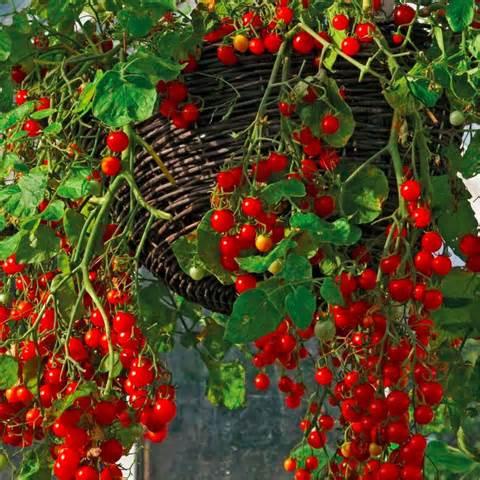 Red Climbing Tomato 039 Tumbling Tom Red 039 Vegetable