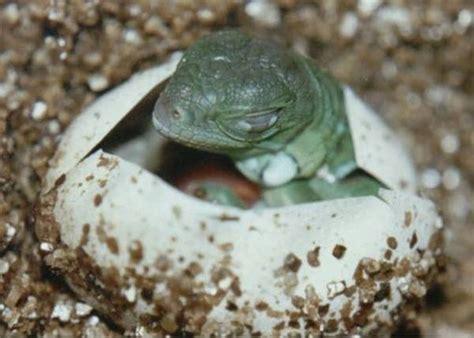 green iguana captive care  petra spiess