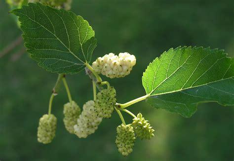 fiori di gelso albero di gelso tra coltivazioni e propriet 224 idee green