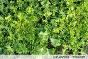 Endiviensalat Pflanzen Setzen : endivien endiviensalat anbau und pflege ~ Whattoseeinmadrid.com Haus und Dekorationen