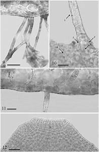 Contarinia Squamariae   9  Cross