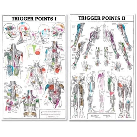 trigger point charts   ii trigl trigger points poster anatomical chart company