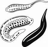 Leech Clip Medical Illustrations sketch template