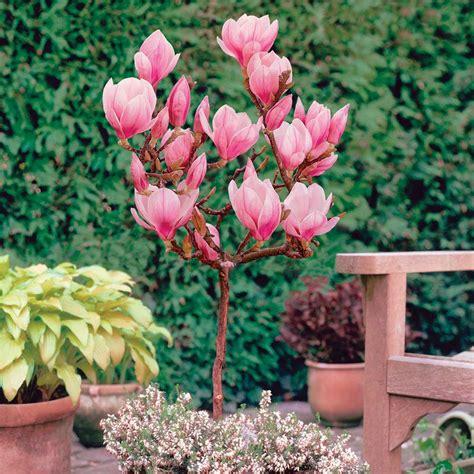 magnolia standard patio plants meuwen