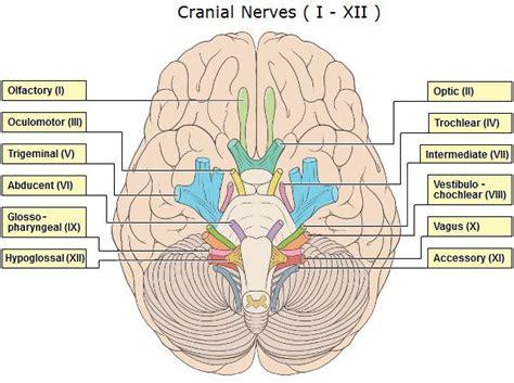 cranial nerves  brainstem