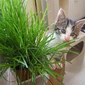Graine Herbe A Chat : graines d herbe chat votre chat il en raffole ~ Melissatoandfro.com Idées de Décoration