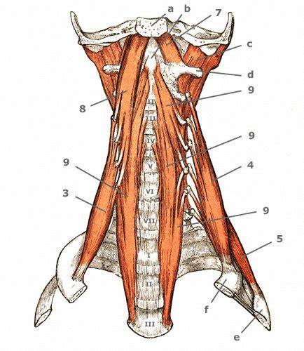scalenus anterior medius posterior minimus