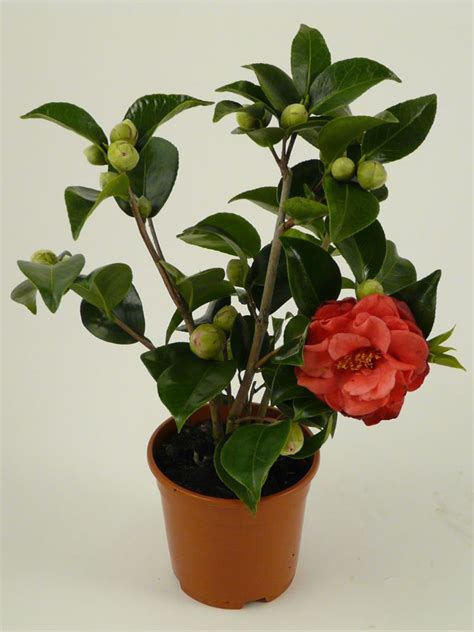caring for camellias in pots plants flowers 187 camellia japonica