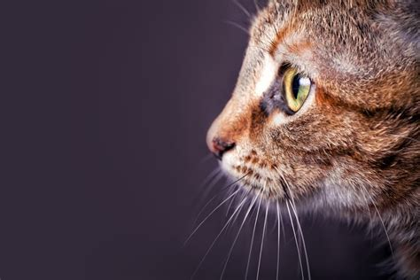 how many whiskers does a cat have joke