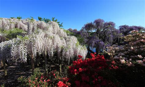 flower park in tokyo spring in japan wonderful wisteria billions of exquisite blooms 34 pics