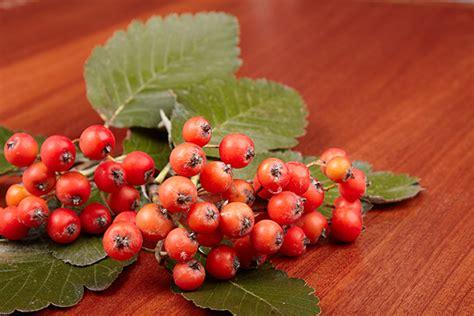 hawthorn berries mangosteen purple health remedy malaria powerful found