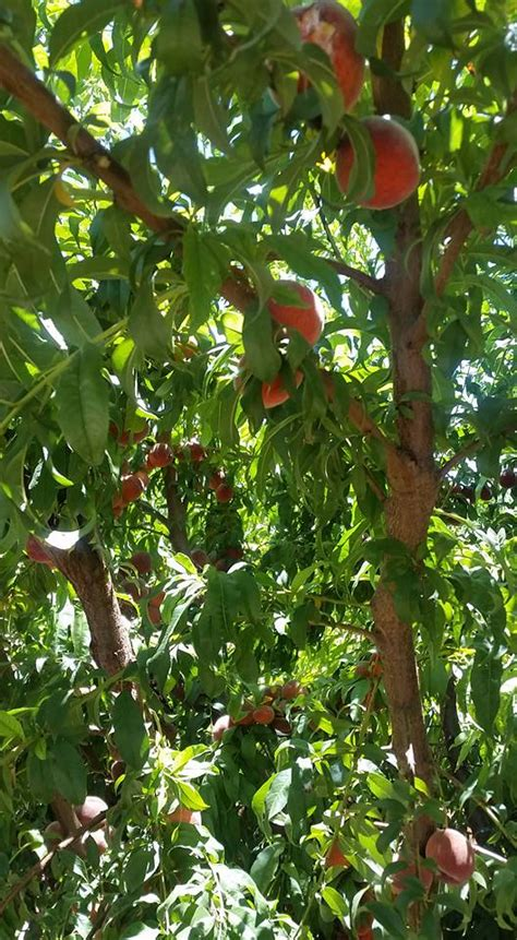 Peach Pickin Schnepf Farms Enthusiastic About Life