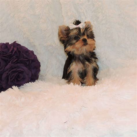 Yorkie Puppies Images Babydoll Yorkie For Sale Get Babydoll Yorkie