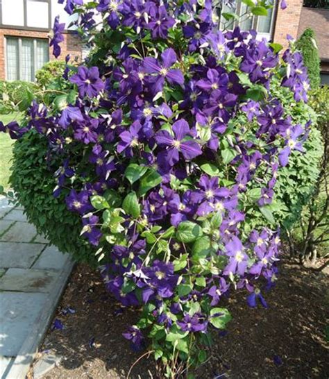 Fast Growing Climbing Plants  Fast Growing, Deciduous
