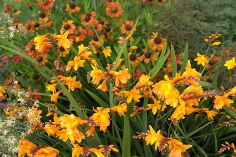bloemen geel lange steel tuin c coen jansen vaste planten