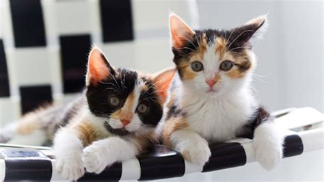 calico cats kittens cat female cute breed different why always almost notes most calicos between tortoiseshell difference wallpapers patches solid