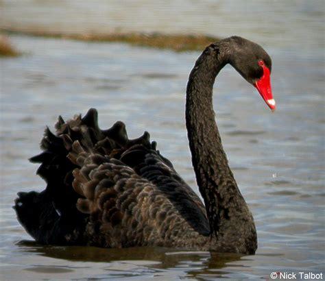 black swan weneedfun