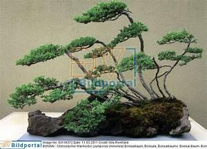 Chinesischer Wacholder Bonsai : details zu 0003138372 bonsai chinesischer wacholder juniperus chinensis djv bildportal ~ Sanjose-hotels-ca.com Haus und Dekorationen