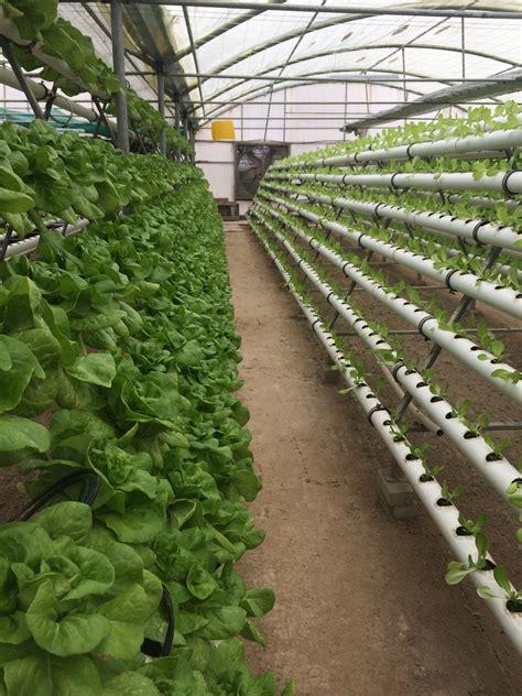 hydroponic gardening hydroponics sembrar lechuga