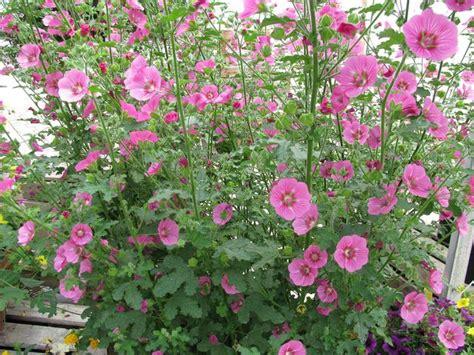 les 25 meilleures id 233 es de la cat 233 gorie jardin d hibiscus