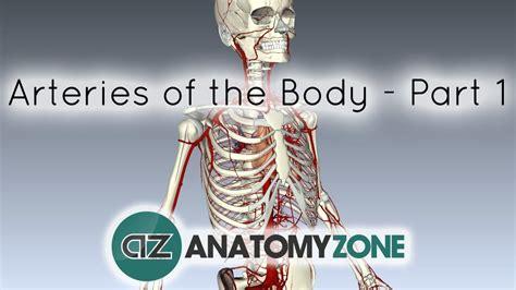 arteries   body cardiovascular anatomyzone