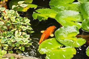 Tiere Im Gartenteich : goldfische im teich haltung und vermehrung ~ Eleganceandgraceweddings.com Haus und Dekorationen