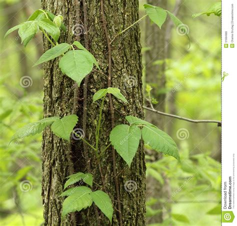 what is that vine poison ivy toxicodendron radicans stock image image