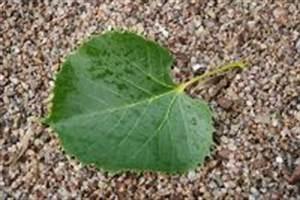 Linde Baum Steckbrief : henrys linde details baumbestimmung laubh lzer bestimmen tilia henryana ~ Orissabook.com Haus und Dekorationen