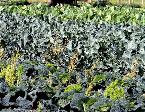 brocoli planter  cultiver ooreka