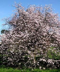 Planter Un Cerisier : cerisier du japon planter et entretenir ooreka ~ Melissatoandfro.com Idées de Décoration