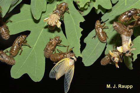 Cicada Shedding Its Exoskeleton by Hail Brood Ii Magicicada Spp Bug Of The Week