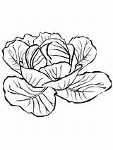 Cabbage Coloring Pages Printable Drawing Colouring Vegetables Broccoli Sketch Getdrawings Colors Template Recommended sketch template
