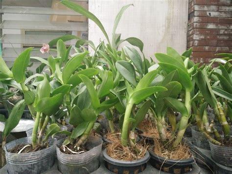 jual anggrek dendrobium atakid lapak hana orchid