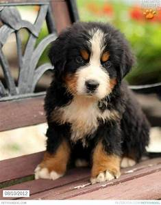17 Best ideas about Bernese Mountain Dog Mix on Pinterest ...