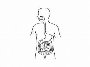 Blank Excretory System Diagram