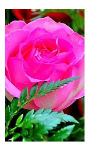 [78+] Rose Flower Wallpapers For Desktop on WallpaperSafari