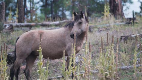 wild heber territory horse