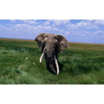 African Elephants... - XciteFun.net