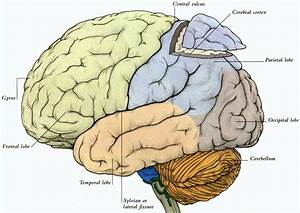 Diagram Of The Human Brain Parts 3   Biological Science