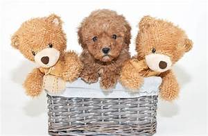 10 Dogs That Look Like Teddy Bears - Pet Care Facts