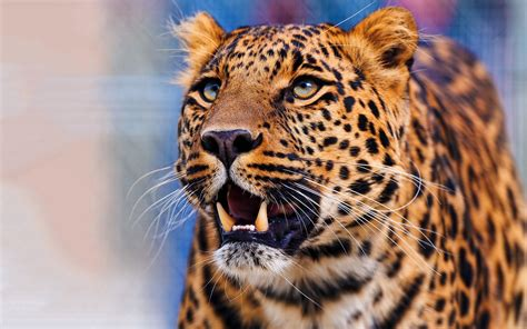 leopard pics hd desktop wallpapers  hd