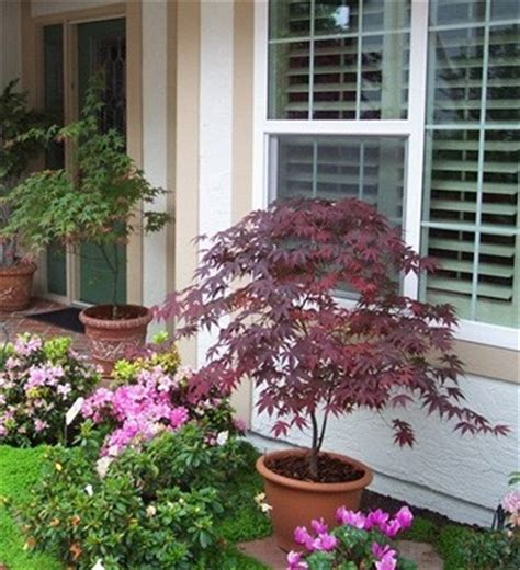 japanese maple in a container zones 5 9 article