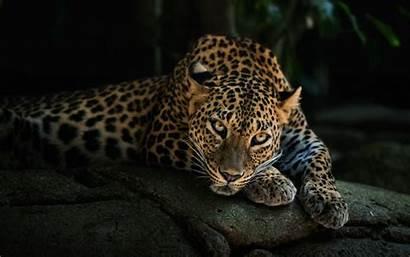 Animal Desktop Leopard Background Wallpapers Animals Walls