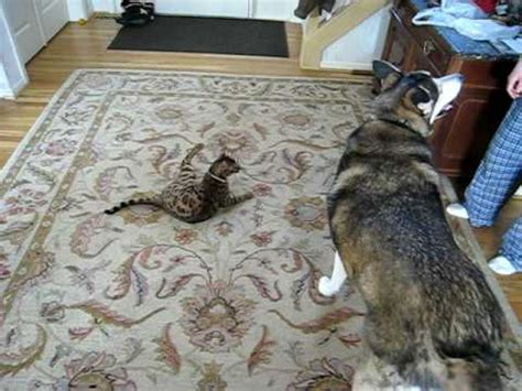 Bengal Cat Attacks Our Housemutt Youtube